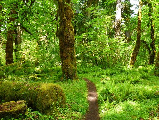 Hoh Rainforest understory